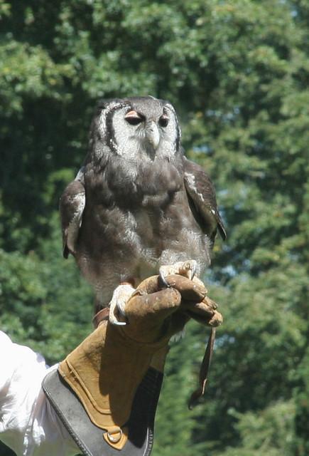 Verreux Eagle Owl