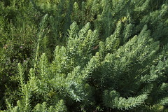 larch(0.0), flower(0.0), evergreen(1.0), shrub(1.0), branch(1.0), southernwood(1.0), tree(1.0), plant(1.0), flora(1.0), biome(1.0), spruce(1.0),