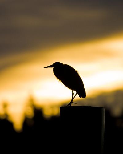 nature birds sunrise wildlife herons greatblueherons
