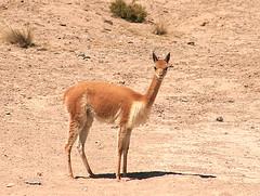 camel(0.0), arabian camel(0.0), gazelle(0.0), animal(1.0), mammal(1.0), fauna(1.0), vicuã±a(1.0), guanaco(1.0), wildlife(1.0),