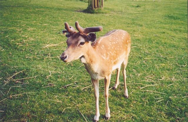 R Reindeer Real My first real reindeer...