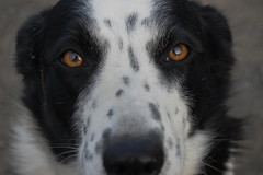 australian shepherd(0.0), border collie(1.0), dog breed(1.0), animal(1.0), dog(1.0), pet(1.0), stabyhoun(1.0), carnivoran(1.0),