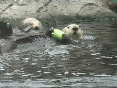 animal, marine mammal, zoo, fauna, sea otter, wildlife,