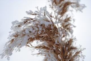 kokología blanco canelado