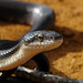 Snakes - Photo (c) Matt Reinbold, some rights reserved (CC BY-ND)