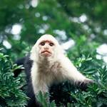 Costa Rican Monkey, Monteverde Costa Rica