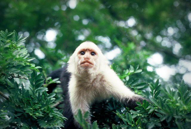 Capuchino cariblanco en Monteverde, Costa Rica.