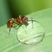 Small photo of Red Ant