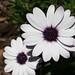African Daisy (Dimorphotheca aurantiaca)