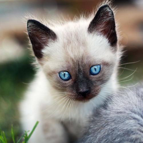 chats yeux bleus. Black Bedroom Furniture Sets. Home Design Ideas