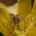 Saltamontes ( caelifera) pegándose un atracón de anteras de nopalito (opuntia brasiliensis)