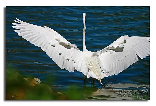 white landing egret anawesomeshot diamondclassphotographer flickrdiamond