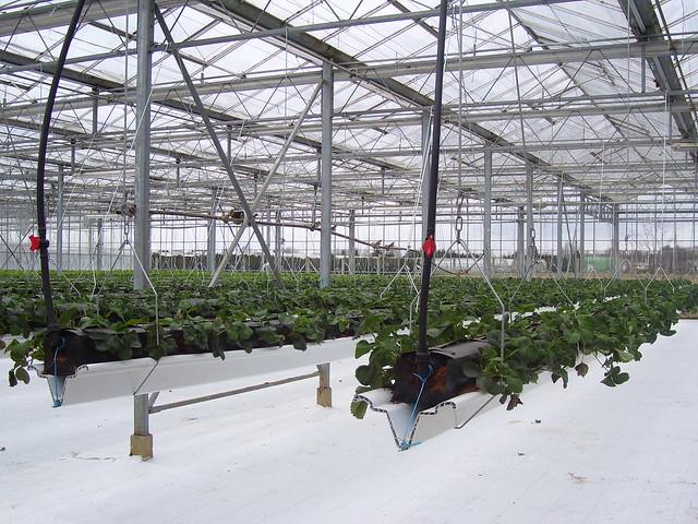 fraisier en plantation hors sol flickr photo sharing. Black Bedroom Furniture Sets. Home Design Ideas