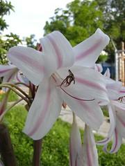 amaryllis belladonna, lily, flower, plant, flora, pink, petal,