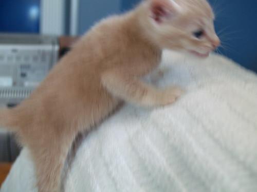kitten adoption