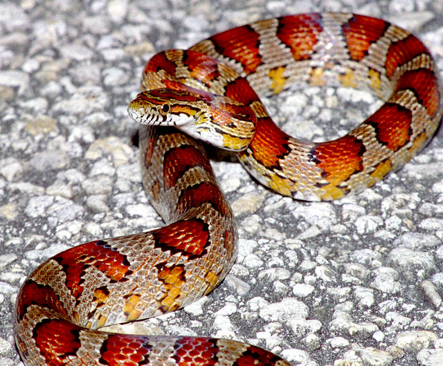 Florida Corn Snakes for Sale http://www.flickr.com/photos/42389547@N00/1001113583/