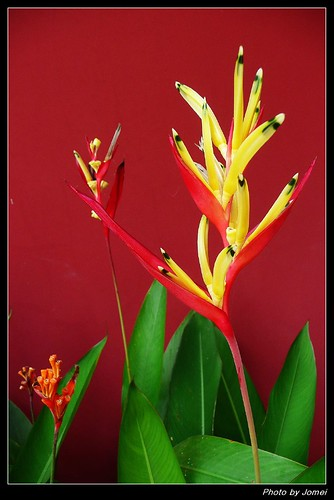 天堂鳥 Bird of Paradise Flower