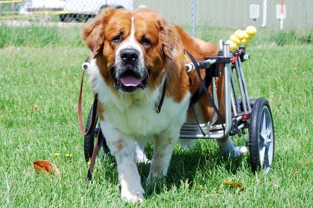 How do I make a doggie wheelchair for my chihuahua? - Yahoo! Answers