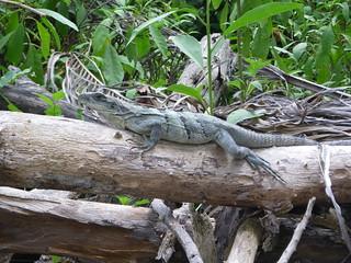 Iguana in Cozumel's Chankanaab Park
