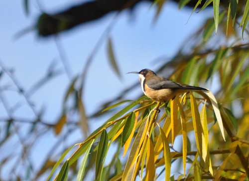 Eastern Spinebill in a willow tree