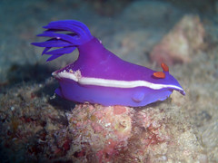 animal, coral, purple, marine biology, invertebrate, macro photography, marine invertebrates, sea slug, underwater, reef, blue,
