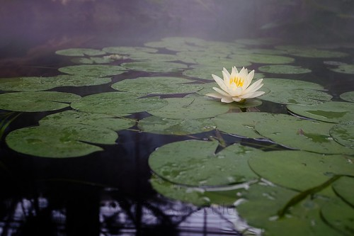 mist flower water aquarium nc lily lotus blossom fort pad northcarolina fisher fortfisher nymphaeaceae nikonafsnikkor1635mmf4gedvr