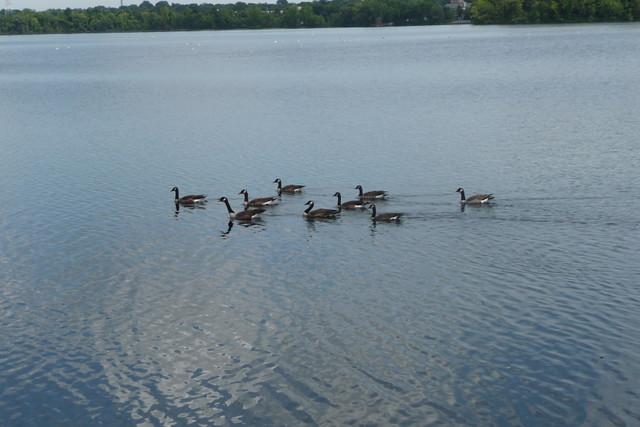 Fresh Pond - Duck family, Cambridge, MA