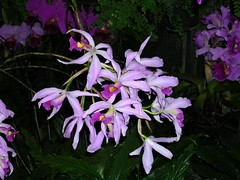 cattleya labiata(1.0), flower(1.0), purple(1.0), laelia(1.0), flora(1.0), cattleya trianae(1.0),