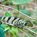 Banded Tree Anole, female
