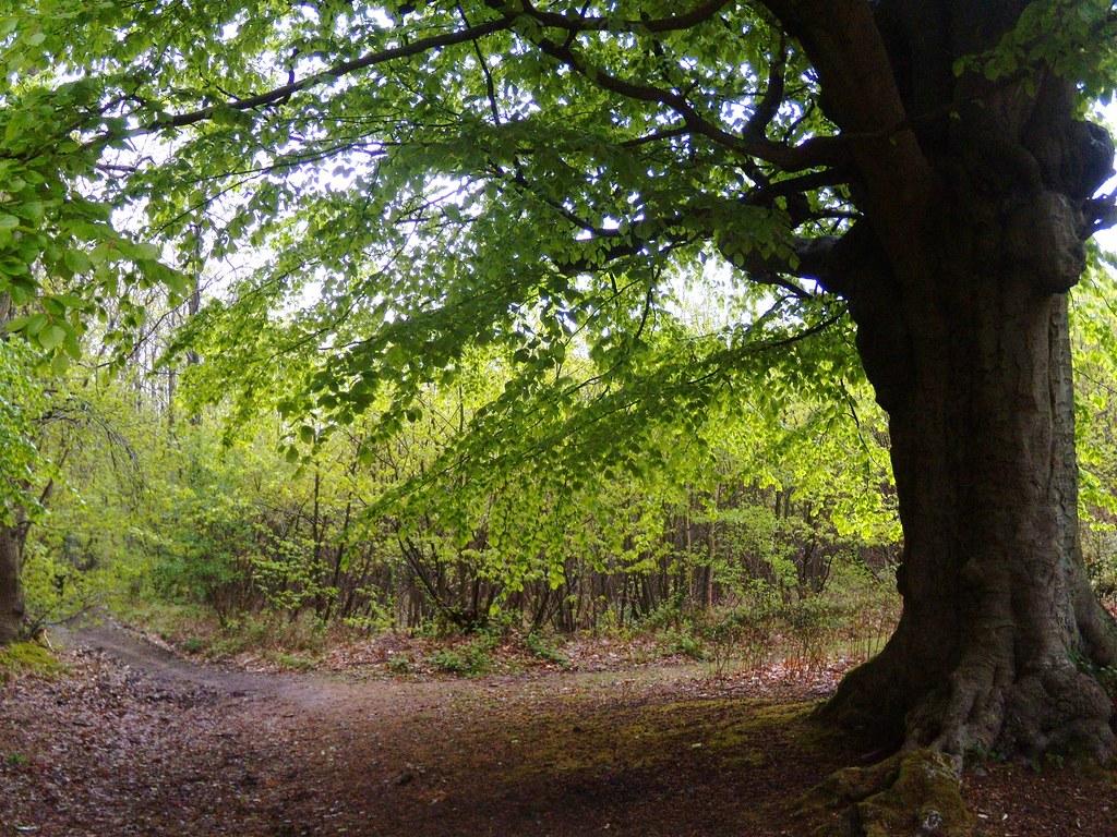 Tree Meresworth Woods. Yalding to Borough Green