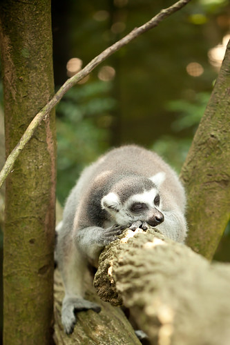 Sleeping Lemur