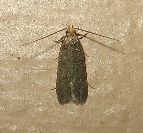 fauna insect ma grey monterey massachusetts small gray moth july lepidoptera dorsal unidentified berkshirecounty gelechioidea glyphidoceridae glyphidocera