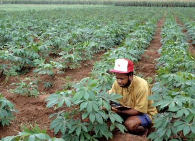 The effectiveness of cassava manihot esculenta
