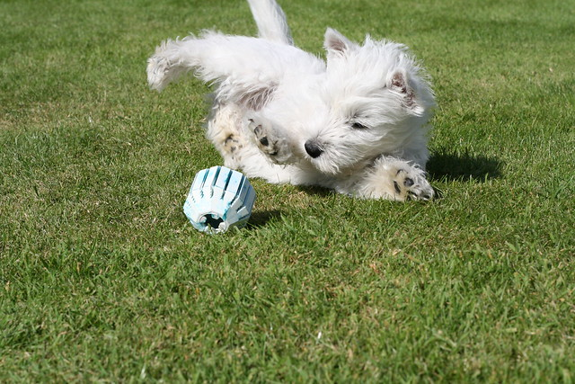 West Highland White Terrier Cute Puppy Playing on a Grass