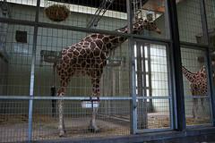 Giraffenmännchen