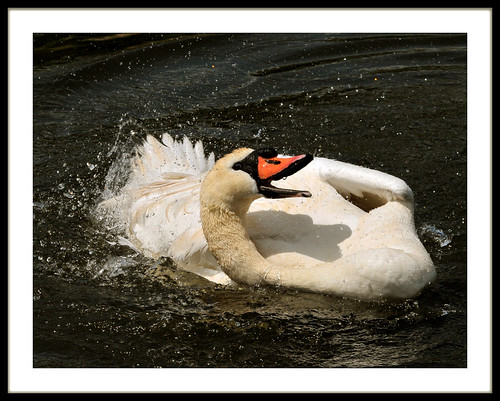 Momma Swan Does The Splish-Splash*