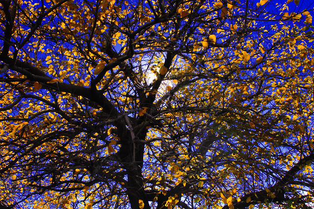 George Washington Park Harlem Wash Hts NYC 2010 - Fall Tree Yellow leaves Sun
