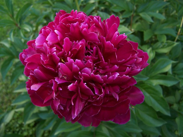 Peony (Indiana state flower) | Flickr - Photo Sharing!