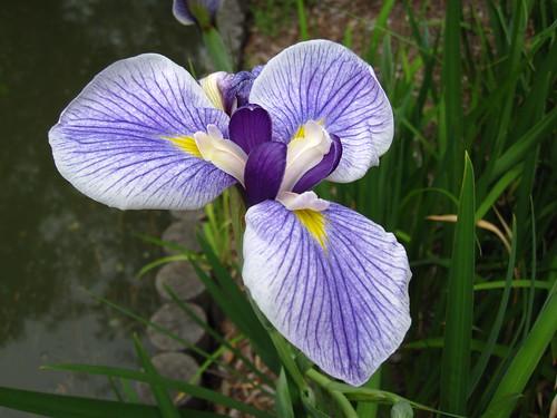 Iris ensata 'Oze'