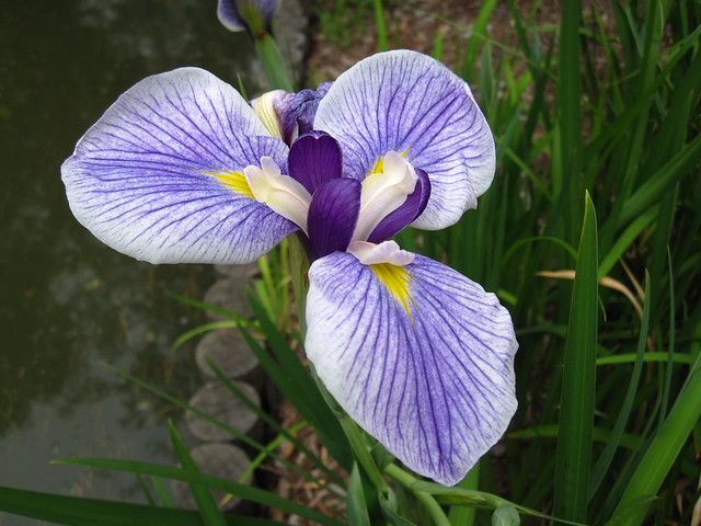 Iris ensata 'Oze' (Japanese water iris) blooms along the bank of the Japanese pond. Photo by Rebecca Bullene.