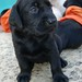 black lab puppy - female