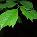 Field Elm - Photo (c) HermannFalkner/sokol, some rights reserved (CC BY-NC)
