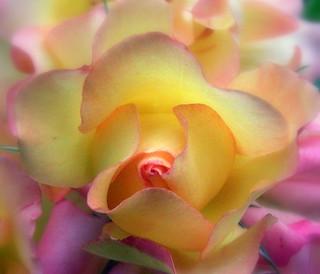 Mixcolor Rose -- Macro (sooc)