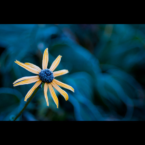 blue orange flower rain yellow frost rudbeckiahirta lazyeyedsusan