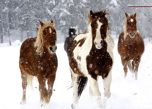 Beautiful Horses Running In Snow