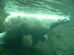 Polar bear at Portland Zoo