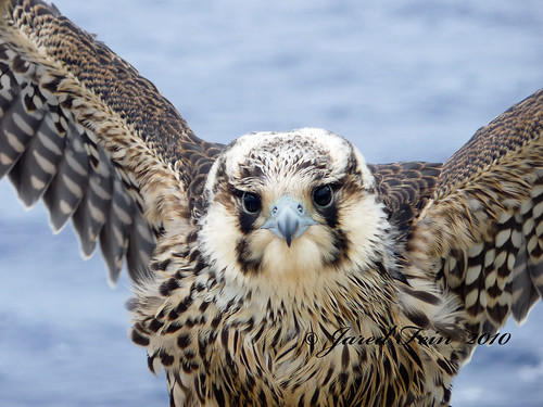 ocean cruise sea celebrity bird nature closeup eyes hawk ngc wing feathers atlantic solstice falcon caribbean birdofprey peregrine peregrinefalcon platinumheartaward sewerdoc ©jaredfein