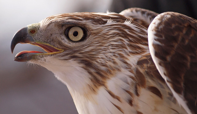 Young Red Tailed Hawk