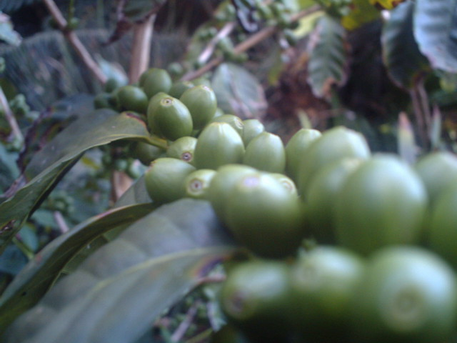 Mighty Arabica