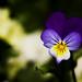 Violet by Rán